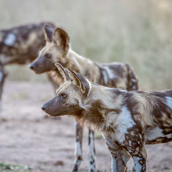 african-wild-dogs-starring-in-the-selous-game-reserve