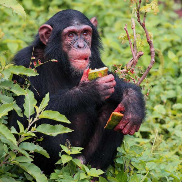 chimpanzee-from-gombe0park